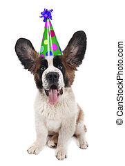 Saint Bernard With a Birthday Hat