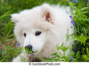 Funny Samoyed puppy dog in the green grass with flowers