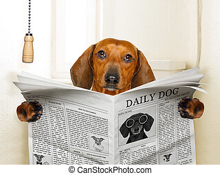 funny sausage dachshund dog sitting on toilet and reading magazine or newspaper with constipation