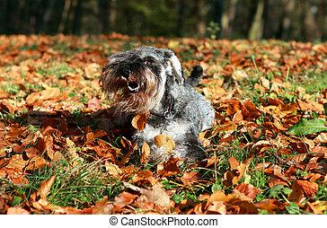 schnauzer in the autumn