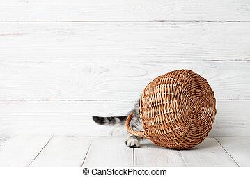 Funny scottish fold kitten in basket
