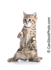 Funny Scottish kitten pure breed dancing isolated