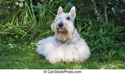 Funny Scottish terrier dog lying on a green lawn in the yard...