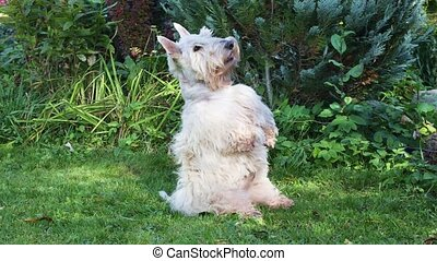 Funny Scottish terrier dog stands on its hind legs on a ...