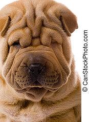 Funny sharpei dog