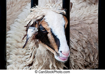 Funny sheep portrait
