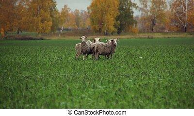 Funny sheep running away.