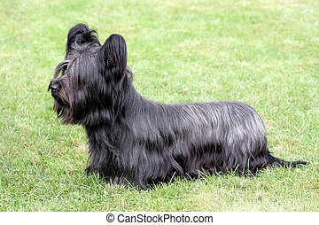 Funny Skye Terrier on the green grass