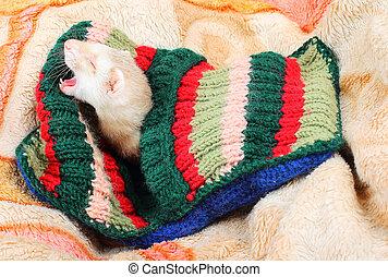 Funny sleeping ferret