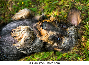 Funny small dachshund dog has a sunstroke