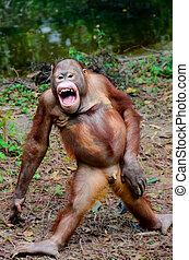 Funny smile orangutan monkey posing