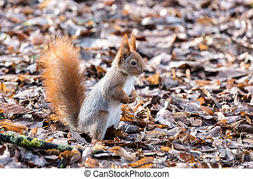 funny squirrel standing in dry fallen yellow leaves