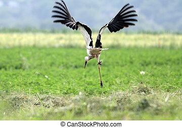 funny stork in flight
