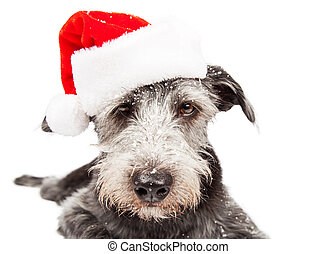 Funny Terrier Santa Dog With Snow - Closeup terrier...