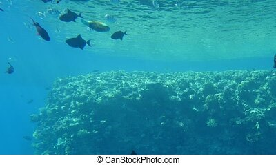 Funny tropical fish moving in a shoal and seeking food over...