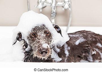Funny Unhappy Wet Terrier Dog in Bathtub - Wet terrier...
