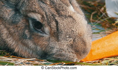 Funny very big gray rabbit chewing or eats carrots. Easter...