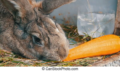 Funny very big gray rabbit chewing or eats carrots. Easter concept