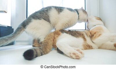 funny video cat. cats lick each other kitten. slow motion...