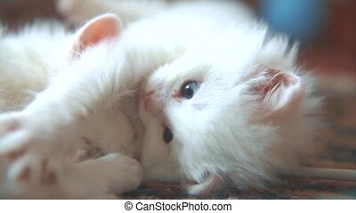 funny video whites two cats kittens playing are sleeping on...