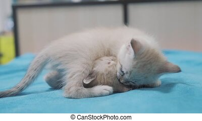 funny video whites two kittens playing on lying on the bed....