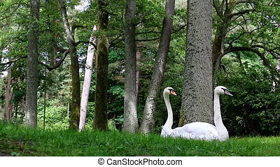 Funny view of swan  couple