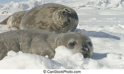 Funny weddell seal enjoy antarctica ice landscape - Funny...