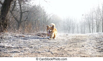 funny welsh corgi fluffy dog playing with the rubber ring...