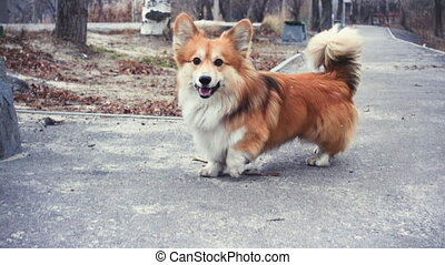 funny welsh corgi fluffy dog walking outdoors