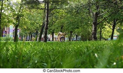 funny welsh corgi fluffy dog walking outdoors