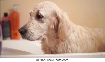 funny wet dog stands after washing in the bathroom