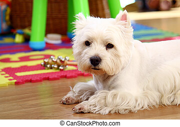 funny white dog at home - funny white dog in the room