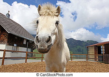 Funny white horse in Swiss Alps at summertime