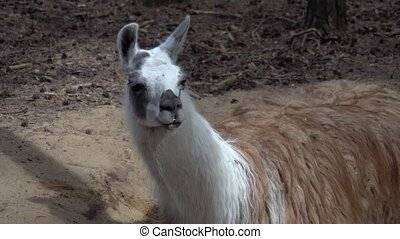 funny white lama close-up - funny white lama