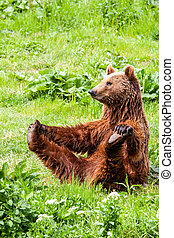 Funny Wild Brown Bear Yoga Practice