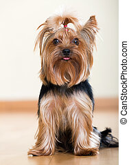 Yorkshire Terrier sitting on laminated floor