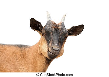funny young  male goat over white