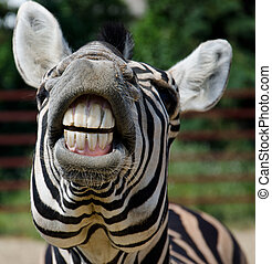 Funny zebra open mouth and show teeth