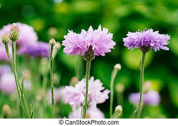 fuoco, cornflower, primo piano, fiori, selettivo
