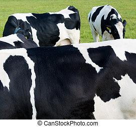 fur a black and white holsteiner cows in a dutch meadow