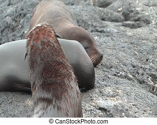 Fur Sea Lions on the Galapagos Islands - Fur sea lions are...