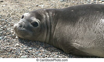 Fur seal - Argentinean fur seal on a coastline of Atlantic...