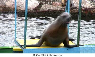 fur seal - Fur seal
