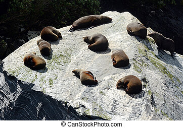Fur seal - New Zealand wildlife NZ NZL - Fur seal colony in...