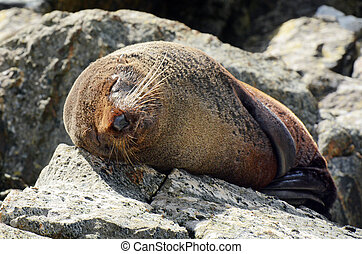 Fur seal - New Zealand wildlife NZ NZL - Fur seal sleep on a...