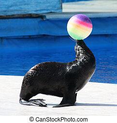 Fur Seal performing at Circus. (Callorhinus ursinus)