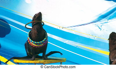 Fur seal playing with hoops on the stage, closeup, Canon XH...