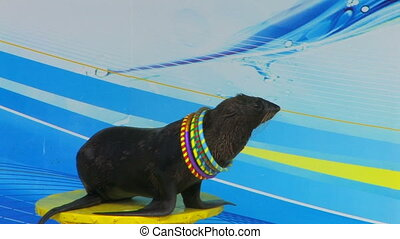 Fur seal playing with hoops on the stage, closeup, Canon XH ...