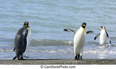 Breeding king penguins and fur seals playing on a beach on South Georgia Island in the South Atlantic Ocean