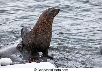 Fur Seal sitting on the rocks washed by ocean, Antarctica